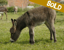 Sold: Florence, miniature donkey
