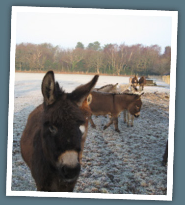 Miniature donkeys in a field
