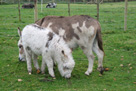 Miniature donkey foal - Buttons