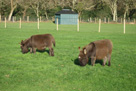 Miniature donkey foals - Minstrel and Sparky