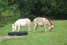 Miniature donkey foals - Smartie and Pheobe