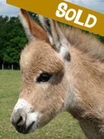 Sold: Percy Pinkerton, miniature donkey