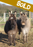 Sparky and Dillon, miniature donkeys