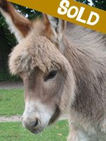 Woodstock, miniature donkey for sale